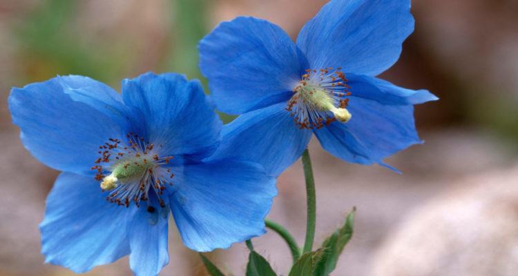 Meconopsis betonicifolia - pavot bleu de l'Himalaya - hortus focus
