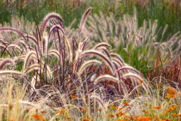 pennisetum - graminée - hortus focus