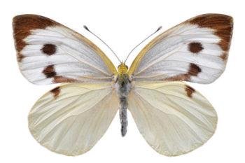 papillon Pieris brassicae - hortus focus