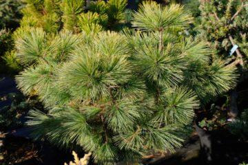 Pinus strobia radiata - hortus focus