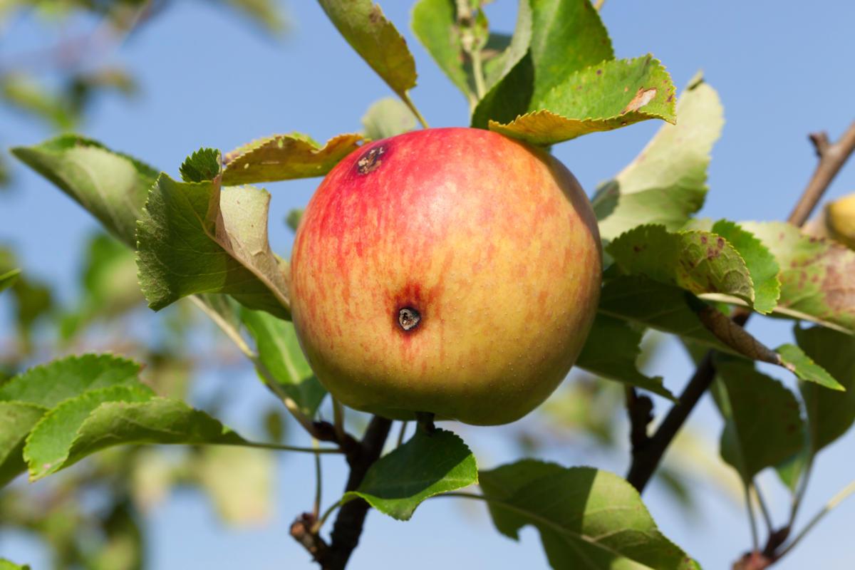pomme - fruit véreux - hortus focus