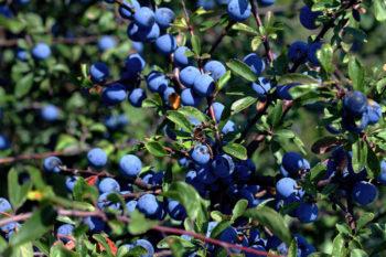 Prunus spinosa - prunellier - Hortus Focus