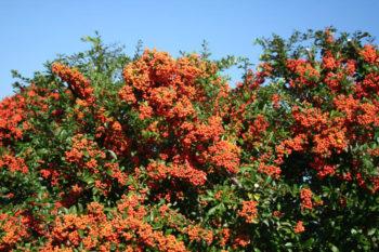 buisson ardent, pyracantha - hortus focus