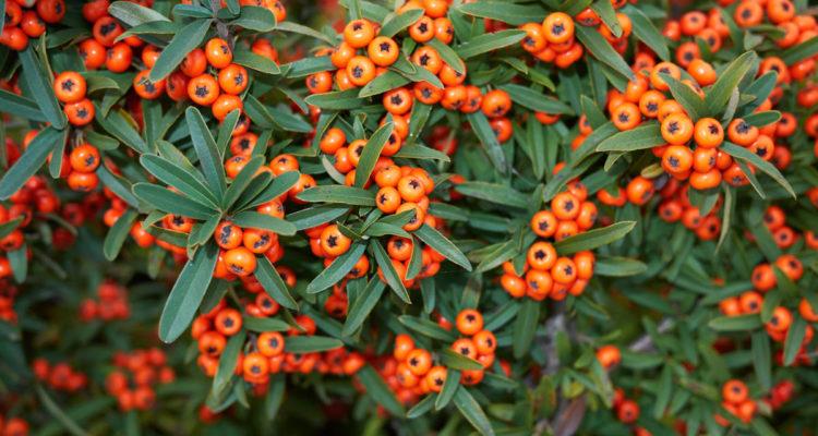 pyracantha - buisson ardent - Hortus Focus