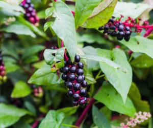 Phytolacca americana - raisin d'Amérique - vulikaia