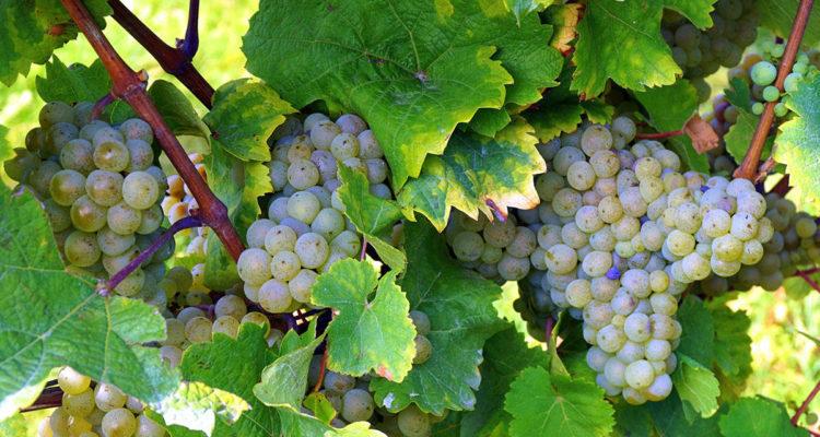 raisin - vigne - hortus focus