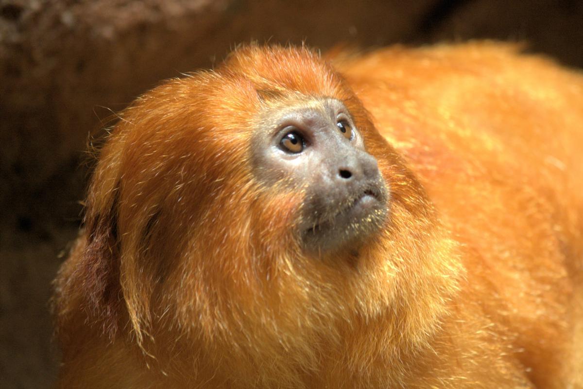 Leontopithecus rosalia - tamarin lion doré - hortus focus