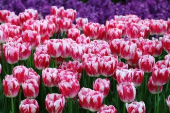 Tulipe 'Caramba' - hortus focus