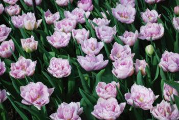 tulipa - tulipe 'Katinka' - SvetlanaKlaise