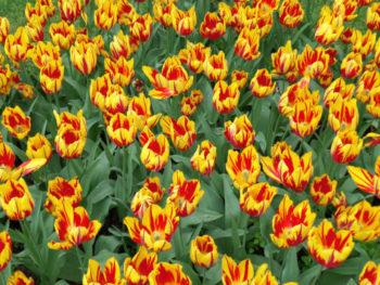 Tulipe 'Mickey Mouse' - hortus focus