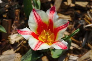 Tulipe 'Pinocchio' - Hortus Focus