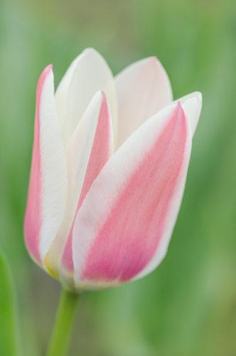 Tulipe 'Zombie' - Hortus Focus