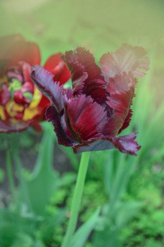 Tulipe perroquet - hortus focus