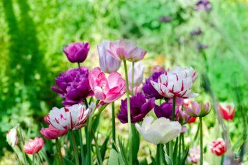 tulipe - tulipa - printemps - Hortus Focus