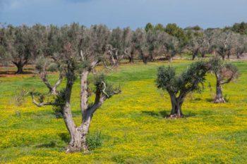Xylella fastidiosa : oliviers infectés