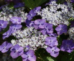 Hydrangea serrata 'Yoi-no-Hoshi' - Hortus Focus