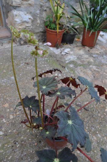 Begonia 'Jamaica'