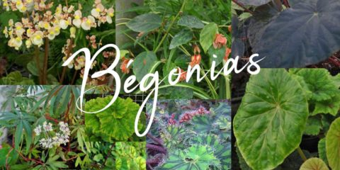 Bégonias
