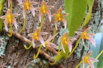 Bulbophyllum - Hortus Focus