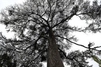Cedrus libani - cèdre du Liban - Hortus Focus