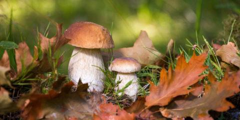 cueillette champignon - hortus focus