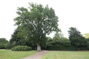 Arbres Admirables de Versailles : Quercus robur - chêne pédonculé - Hortus Focus