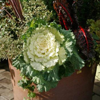 chou décoratif - Hortus Focus