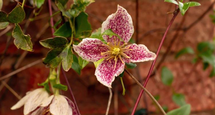Clematis cirrhosa -Hortus Focus