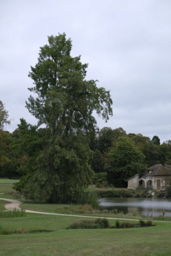 Arbres Admirables de Versailles : Cyprès chauve - Taxodium distichum - Hortus Focus