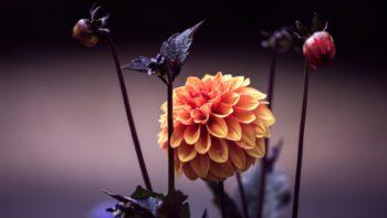 Dahlia - Hortus Focus