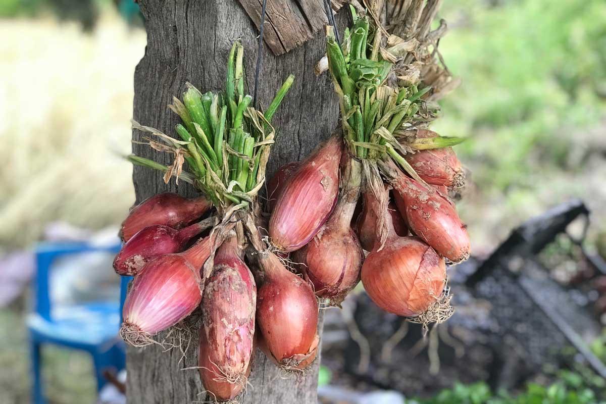 Comment Planter De L Échalote Échalotes au vinaigre [recette] - hortus focus i mag