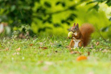 écureuil - hortus focus