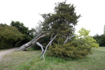 Genévrier de Virginie - Juniperus virginiana - Hortus Focus