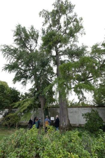 Arbres Admirables de Versailles : Ginkgo biloba - Hortus Focus