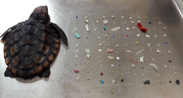 Plastique : dans l'estomac d'une tortue