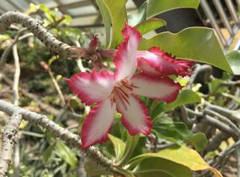 la Havane - fleur tropicale