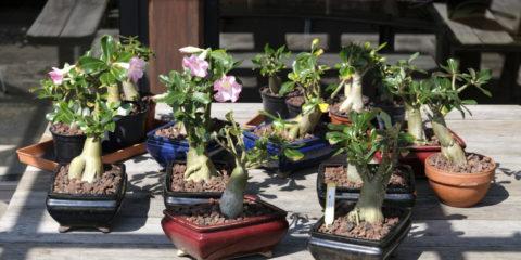 Adenium obesum - Adenium arabicum - Hortus Focus