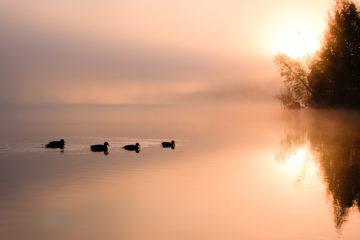 canards sur étang - teuvo-uusitalo