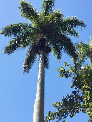 la Havane - Palmier royal