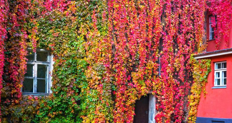 Partheocissus - vigne vierge sur façade - Hortus Focus