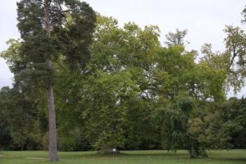 Platane à feuille d'érable - Platanus x acerifolia - Hortus Focus