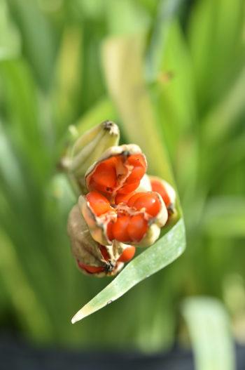 Les Trophées de Saint-Jean de Beauregard : Iris fétide