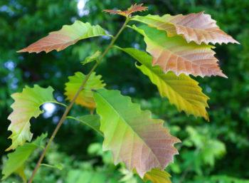 Chêne jaune - quercus muehlenbergii - Hortus Focus