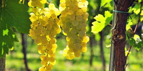 raisin blanc - UrosPoteko