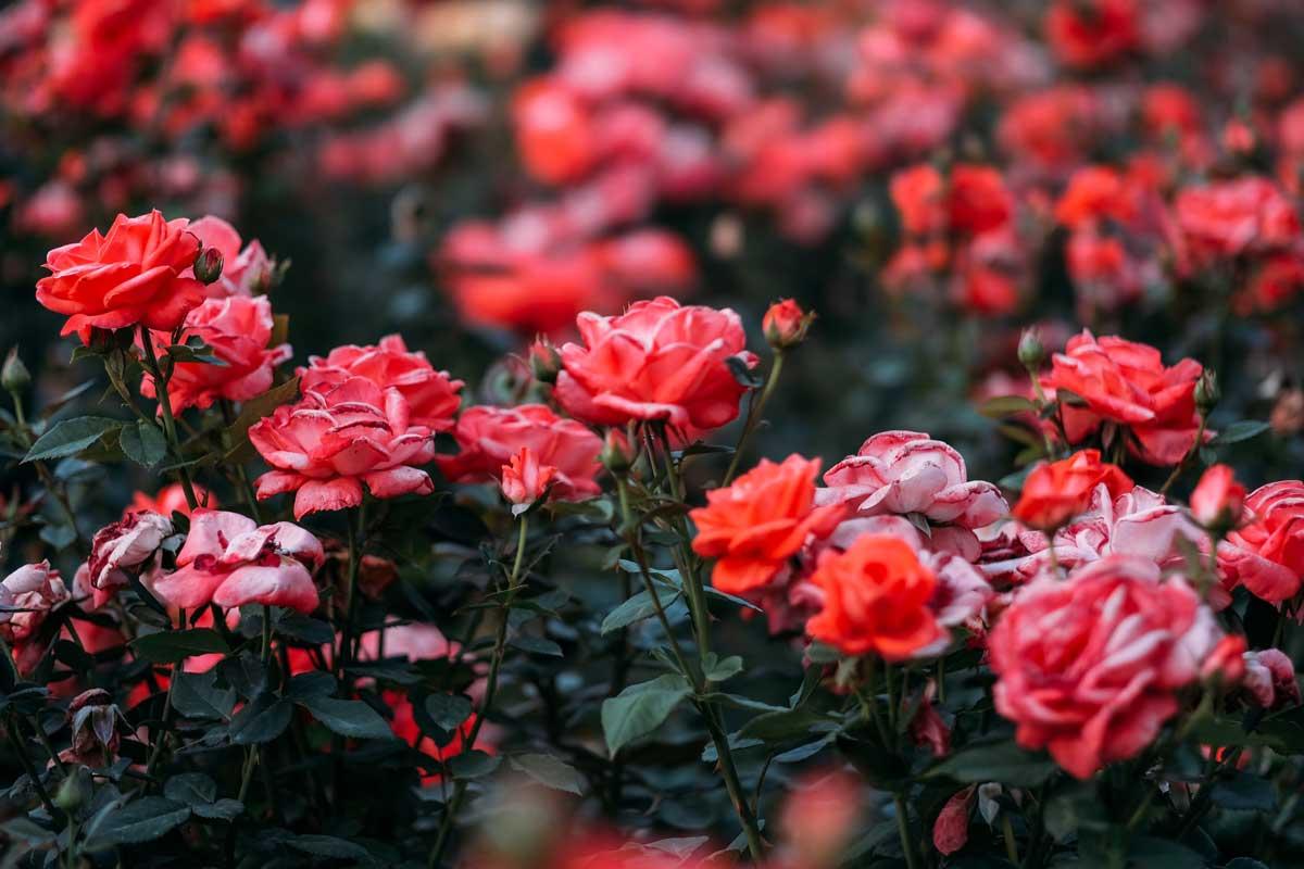 tailler les rosiers : roses au jardin