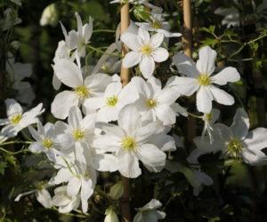 clématite 'Avalanche' - Hortus Focus