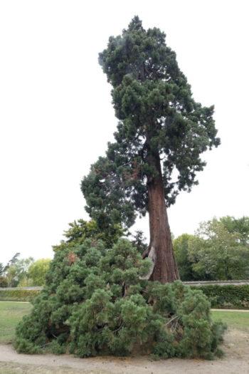 Sequoia géant - Sequoiadendron giganteum - Hortus Focus