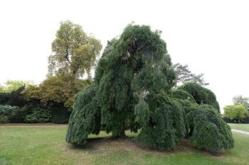 Sophora du Japon pleureur - Styphnolobium japonicum 'Pendula' - Hortus Focus