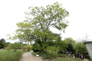 Sophora du Japon - Styphnolobium japonicum - Hortus Focus