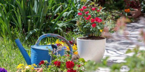 rosier 'Zepetit' - hortus Focus